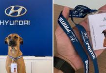 Stray Dog Keeps Visiting A Hyundai Dealership, They Give Him A Job And His Own Badge