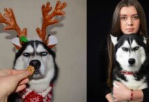 Humans Attempt To Do A Christmas Card Photoshoot With Their Husky, And The Result Is Just Too Funny
